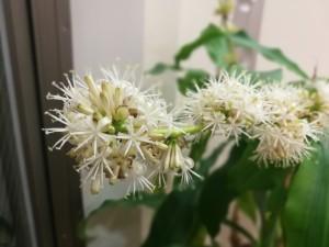 幸福の木の花1